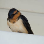 """Barn Swallow"" by WildAboutNaturePhotography"