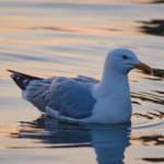 """Gull"" by WildAboutNaturePhotography"