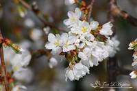 Ornamental Cherry Blossoms  20120322_104a