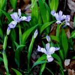 """""""Dwarf Crested Iris"""" by Lorraine_Sommer"""