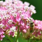 """Honey Bee & Swamp Milkweed"" by evansonart"