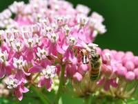 Honey Bee & Swamp Milkweed