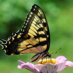 """Tiger Swallowtail Butterfly & Zinnia"" by evansonart"