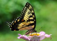 Tiger Swallowtail Butterfly & Zinnia