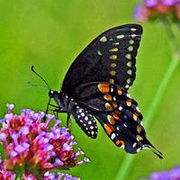 Butterfly  Black Swallowtail close-up