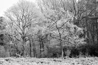 Frost on Trees in Black and White