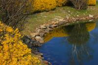 Forsythia Reflection Pond