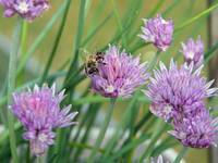 Purple Chive Flowers Make Good Honey!