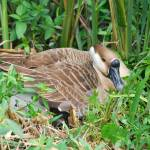 """Goose on Her Nest"" by GlendinePhotography"