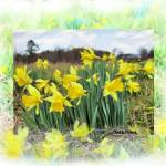 """Daffies-_Painting"" by gailpiland"