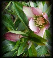 Helleborus Morning..............Explore