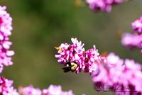 Bumble Bee 20120402_201a