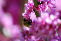 Bumble Bee 20120406_114a