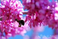Bumble Bee 20120406_118a