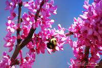 Bumble Bee 20120406_125a
