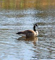 Canadian Goose 20111023_17a