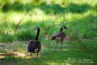 Canadian Geese 20120402_72a