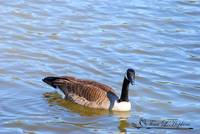 Canadian Goose 20120406_60a
