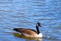 Canadian Goose 20120406_61a