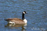 Canadian Goose 20120406_85a