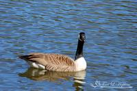 Canadian Goose 20120406_87a