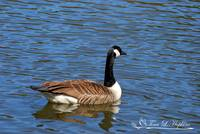 Canadian Goose 20120406_88a