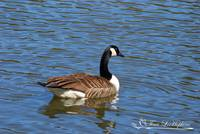 Canadian Goose 20120406_89a