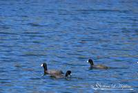 American Coots 20120405_209a