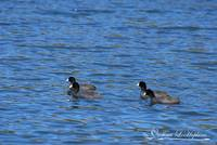 American Coots 20120405_211