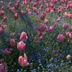 """Pink Tulip Field"" by SederquistPhotography"