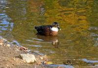 Duclair Duck 20111023_36b