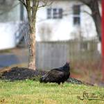 """Turkey Vulture 20120313_14a"" by Natureexploration"