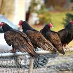 """Turkey Vultures 20120313_17a"" by Natureexploration"