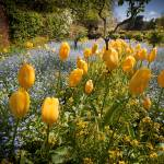 """""""Yellow Tulips and Forget Me Nots"""" by SederquistPhotography"""