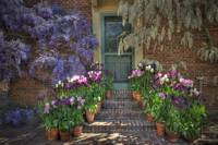 Wisteria, Tulips and Doorway