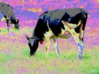 Psychedelic Cows