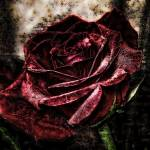 """Red Textured Rose"" by GRphoto"