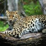 """Lounging Leopard"" by Dullinger"