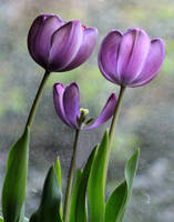 The Tulip Family