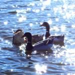 """""""Duck Glitter"""" by ralphnelsen"""