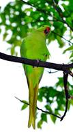 Parrots in Japan, not natural, must be invading pe