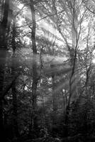 Sunrays Through The Trees in Black and White