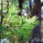 """White Pine Leaves 20120319_148a"" by Natureexploration"
