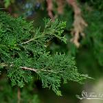 """Cedar Leaves 20120405_125a"" by Natureexploration"