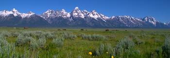 Grand Teton Bison panorama
