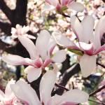"""Chasing Magnolias"" by tracyjade"