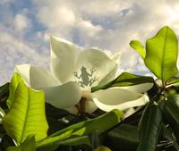 Tree Frog and Magnolia