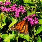 """Monarch Beauty P1120447"" by rayjacque"