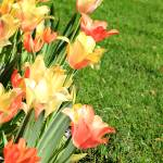 """Happy Tulips IMG_5431"" by rayjacque"