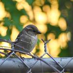 """Female House Sparrow 1"" by ScottHovind"